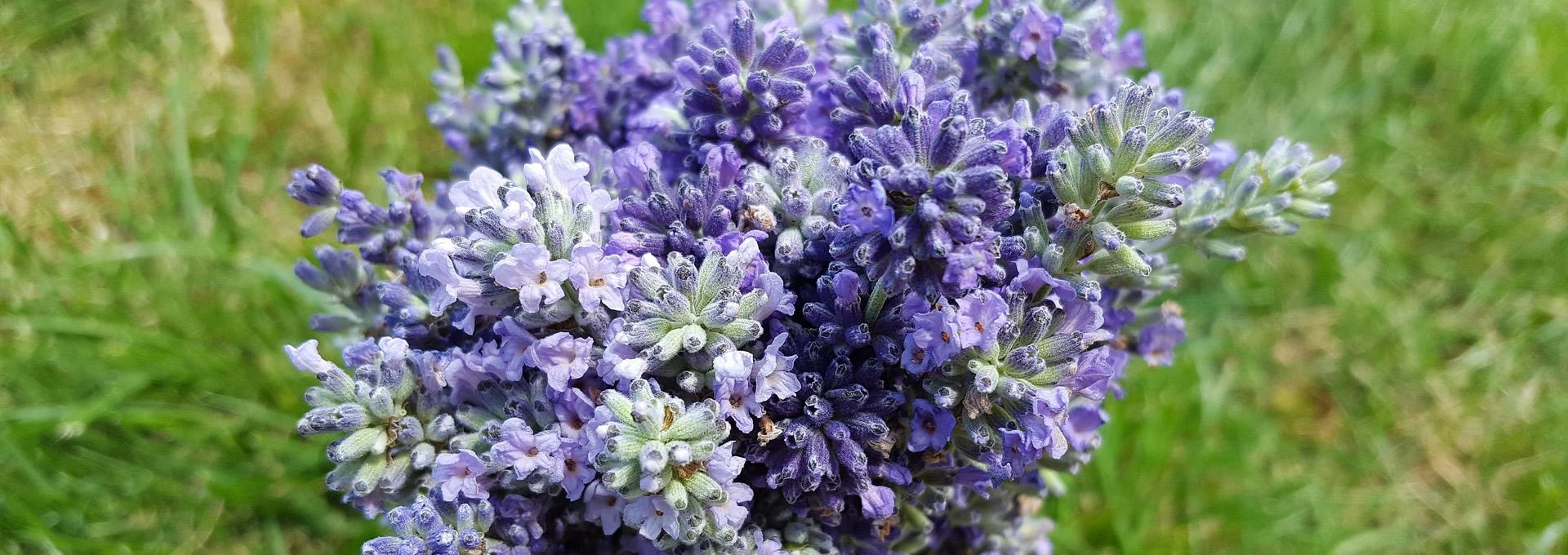Aromatik Tıbbi Bitkiler